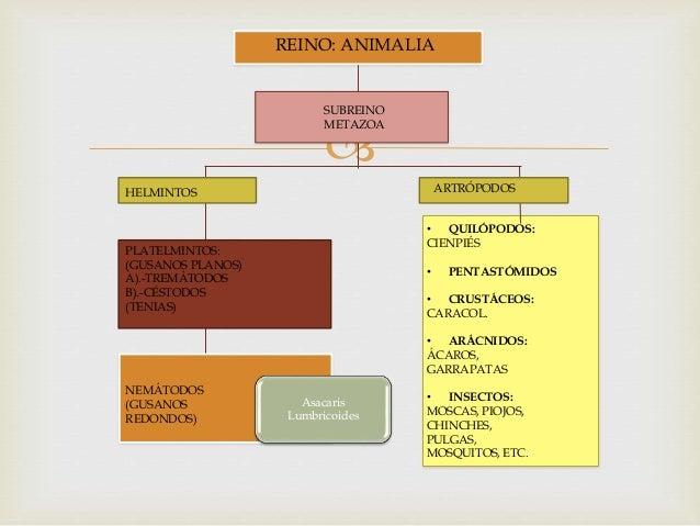  REINO: ANIMALIA SUBREINO METAZOA HELMINTOS ARTRÓPODOS PLATELMINTOS: (GUSANOS PLANOS) A).-TREMÁTODOS B).-CÉSTODOS (TENIAS...