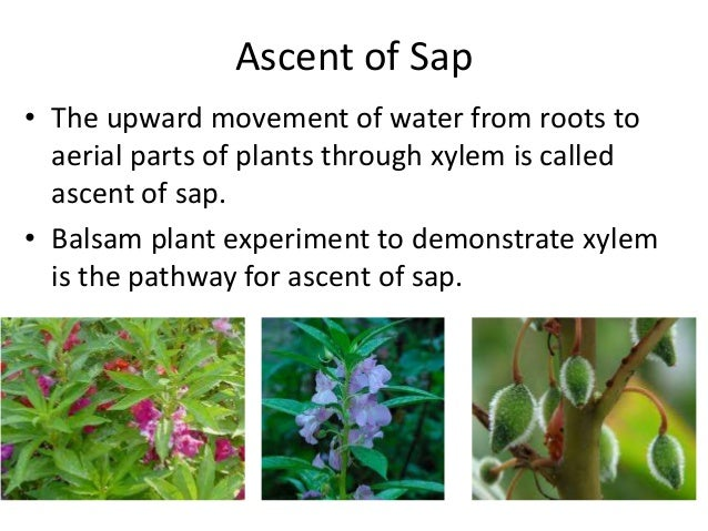 Ascent of sap mohanbio ascent of sap the upward movement of water from roots to aerial parts of plants ccuart Gallery