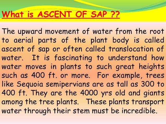 ascent of sap is active or passive