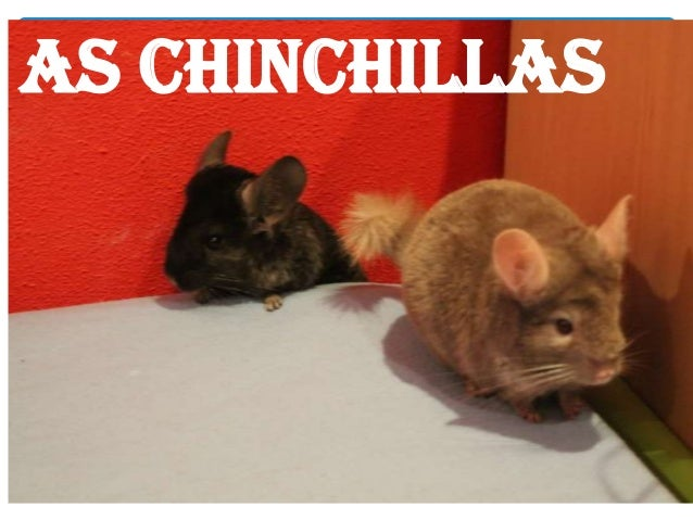 AS CHINCHILLAS