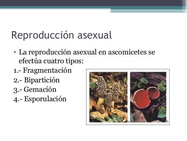 Reproducción asexual • La reproducción asexual en ascomicetes se efectúa cuatro tipos: 1.- Fragmentación 2.- Bipartición 3...