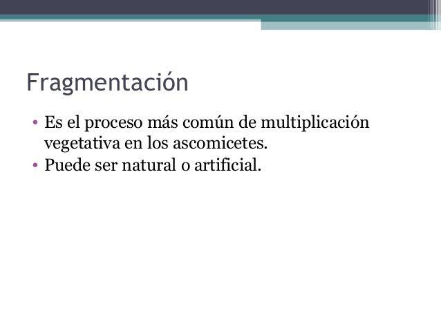 Fragmentación • Es el proceso más común de multiplicación vegetativa en los ascomicetes. • Puede ser natural o artificial.