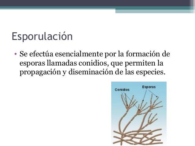 Esporulación • Se efectúa esencialmente por la formación de esporas llamadas conidios, que permiten la propagación y disem...