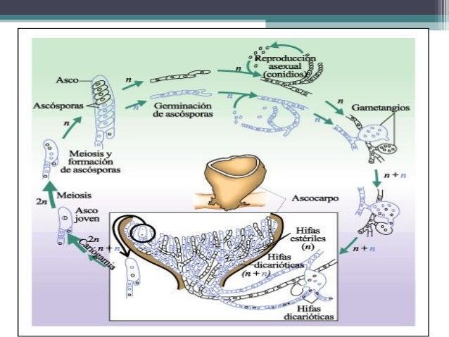 • La formación de ascas y ascosporas se efectúa de dos maneras: 1. Directamente 2. Indirectamente.
