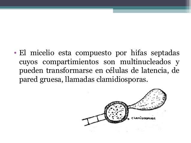 Clase Euascomycetes • Ascas unitunicadas. • Producen ascocarpo. • 3 subclases:  Plectomycetidae (con cleistotecios)  Pyr...