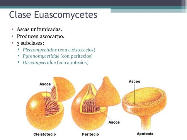 Orden Eurotiales • Cleistotecios microscópicos cerrados. • Peridio seudoparenquimatoso. • Las ascas son globosas, evanesce...