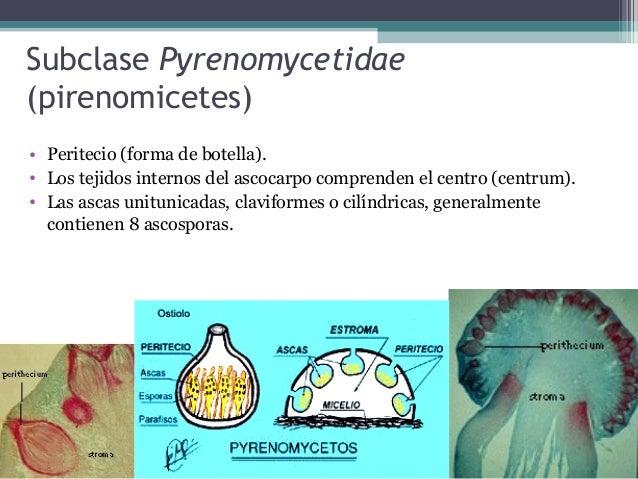 Xylaria • Ascogonio formado a partir de micelio o estroma. • Xylariales y Clavicipitales