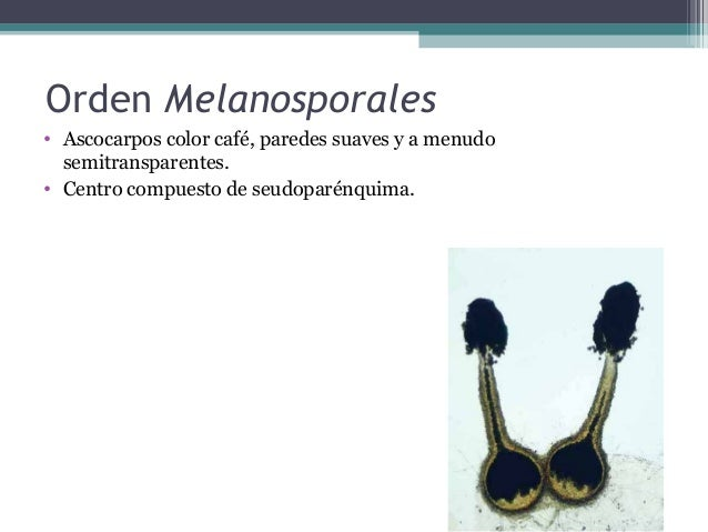 Orden Hypocreales • Peritecios con paráfisis apicales dirigidas hacia abajo • Ascocarpos y estromas (si los presentan) de ...