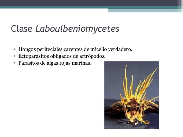 Clase Loculoascomycetes • Ascostromas y ascas bitunicadas. • La pared del asca consiste en dos capas: -externa o ectoasca:...