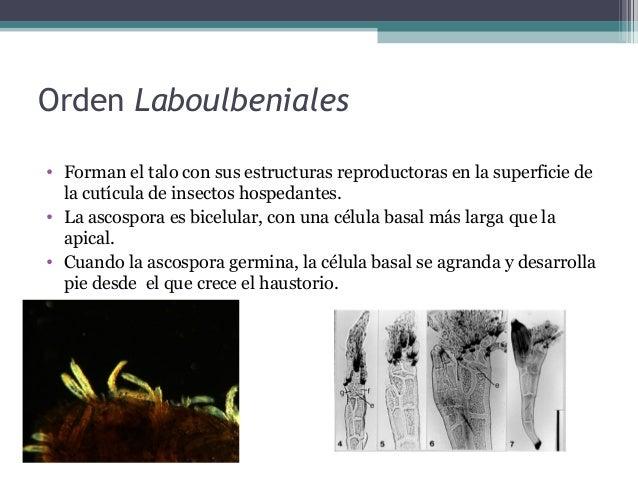 • Se dividen en 5 órdenes: - Myriangiales - Pleosporales - Dothiedales - Hysteriales - Hemisphaeriales