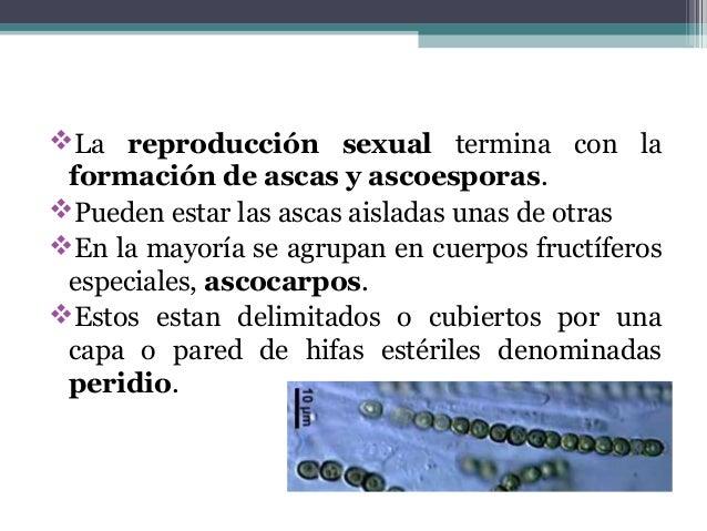 La reproducción sexual termina con la formación de ascas y ascoesporas. Pueden estar las ascas aisladas unas de otras E...