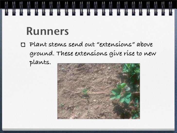 Runner asexual reproduction