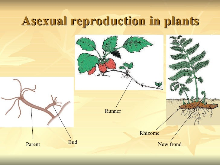 A-sexual reproduction in plants