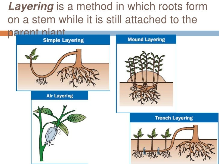 Asexual plant propagation marcotting procedure