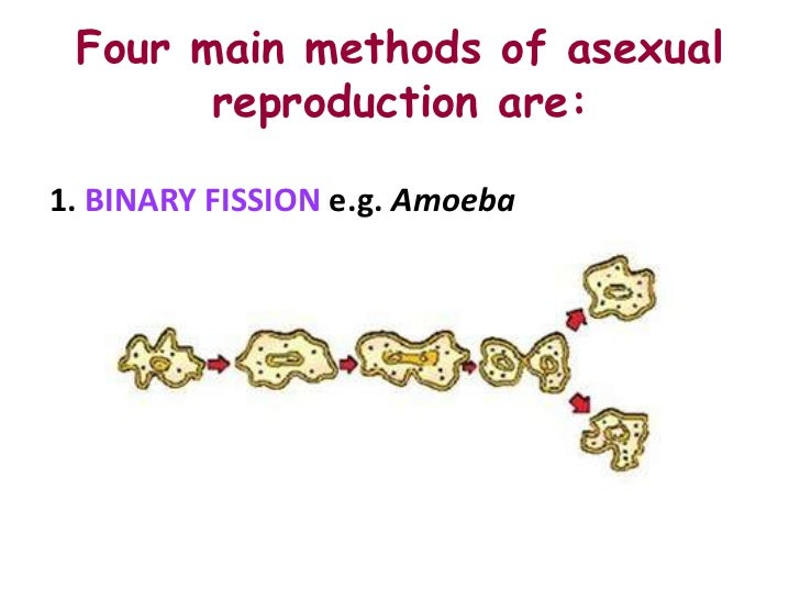 List four types of asexual reproduction