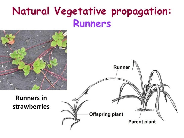 Asexual reproduction plants runners high