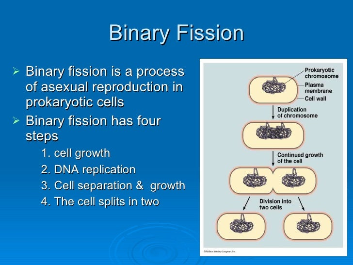 Asexual reproduction budding steps