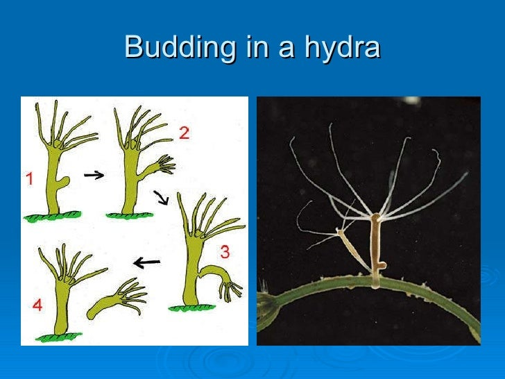 Fungi asexual reproduction budding hydra