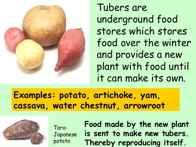 Potato tubers asexual reproduction