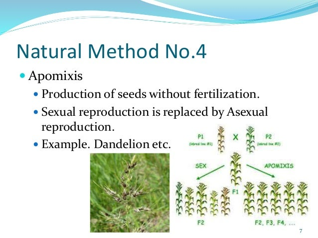 Apomixis vs asexual reproduction pictures