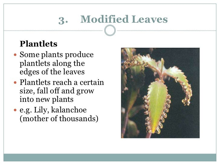 Plantlet asexual reproduction example