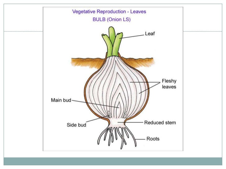 Budding asexual reproduction examples in plants