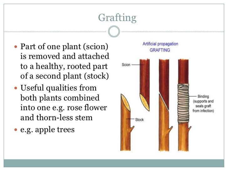 Plantlets asexual propagation budding