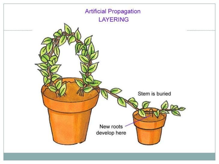 Assexual plant propagation