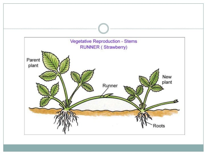 Plantlets asexual propagation tuber