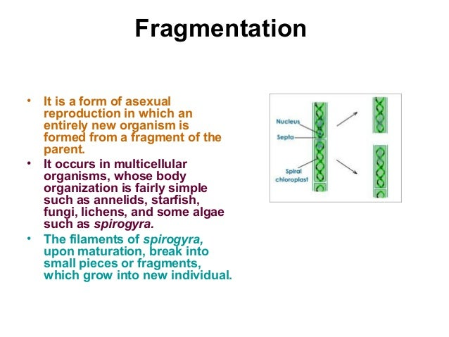 Difference between fragmentation and regeneration asexual reproduction