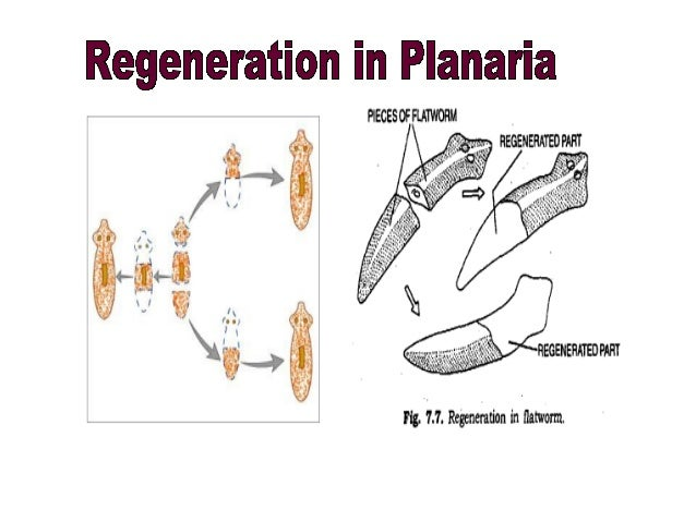 Monera asexual reproduction regeneration