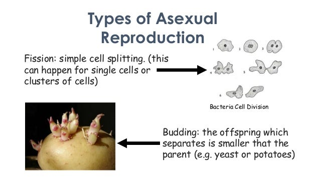 Different types of asexual reproduction in bacteria occurs