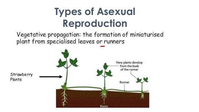 Asexual reproduction strawberry plants