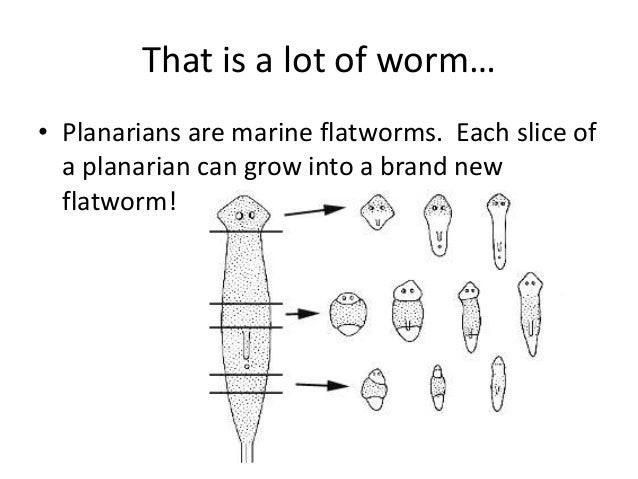 Flatworm reproduction asexual and sexual reproduction