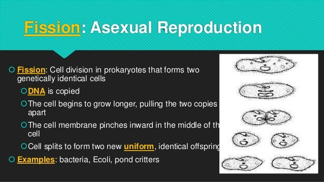 Sea cucumber asexual reproduction regeneration