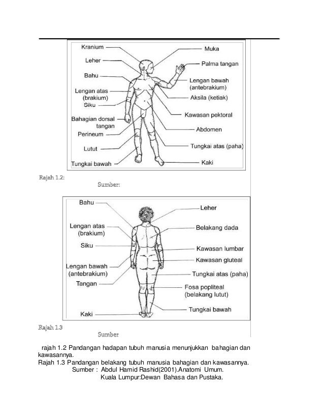 rajah 1.2 Pandangan hadapan tubuh manusia menunjukkan bahagian dan kawasannya. Rajah 1.3 Pandangan belakang tubuh manusia ...