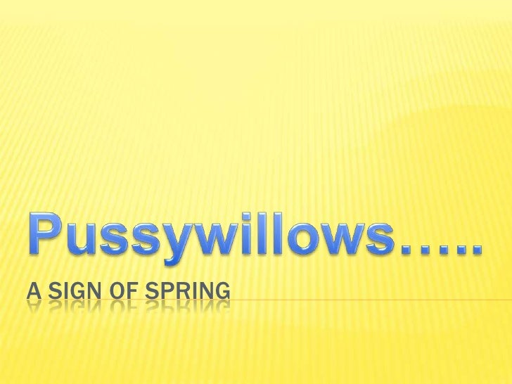 A Sign of Spring<br />Pussywillows…..<br />