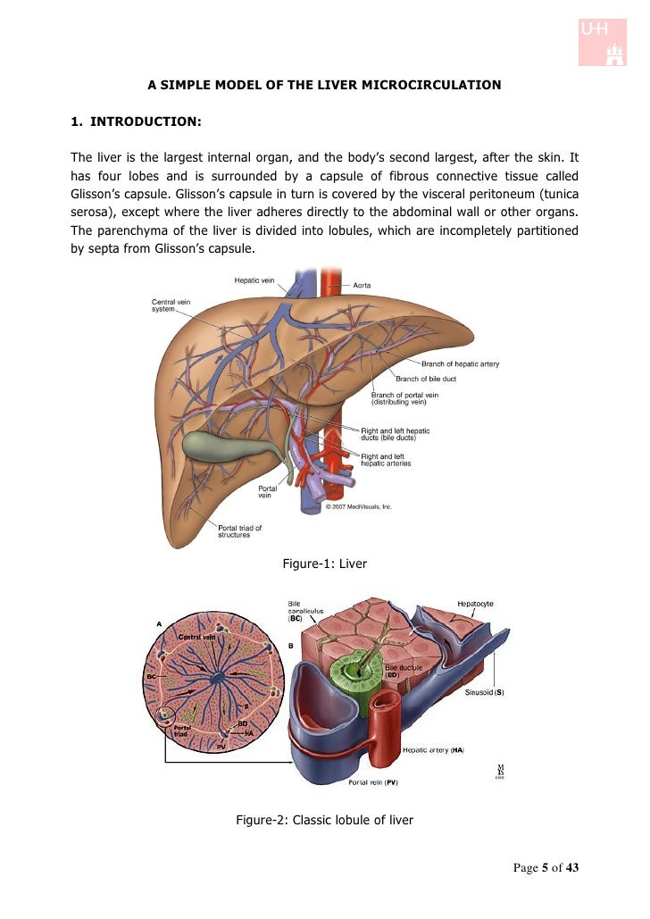 A SIMPLE MODEL OF THE LIVER MICROCIRCULATION1. INTRODUCTION:The liver is the largest internal organ, and the body's second...