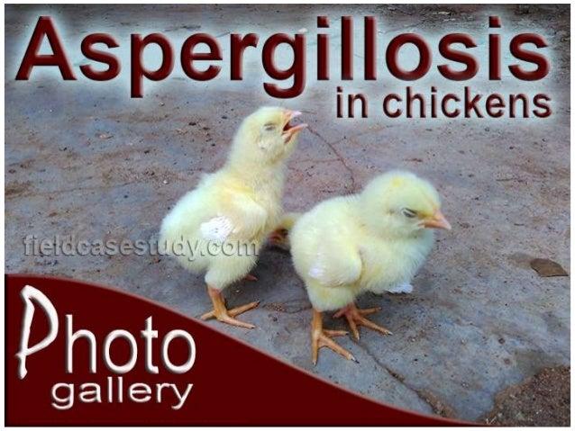 Aspergillosis in Birds, Poultry Diseases Symptoms