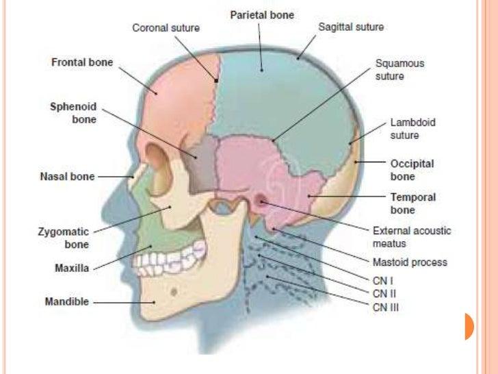 Anatomy skull labeling