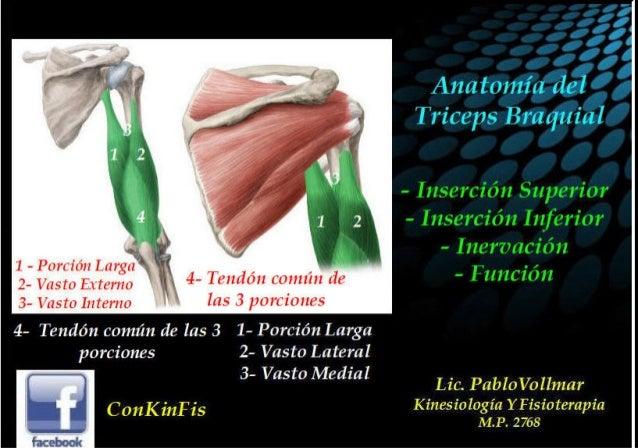 Anatomia - triceps braquial