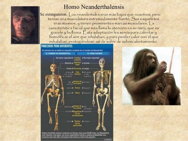 Homo Neanderthalensis Se extinguieron. Los neandertales eran más bajos que nosotros, pero tenían una musculatura extremada...