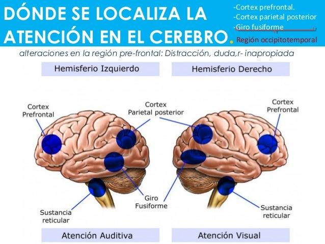 DÓNDE SE LOCALIZA LA ATENCIÓN EN EL CEREBRO. -Cortex prefrontal. -Cortex parietal posterior -Giro fusiforme Región occipit...