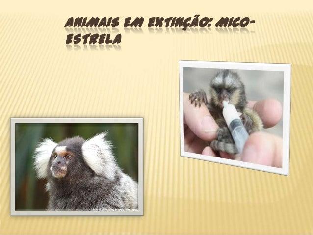 ANIMAIS EM EXTINÇÃO: MICOESTRELA