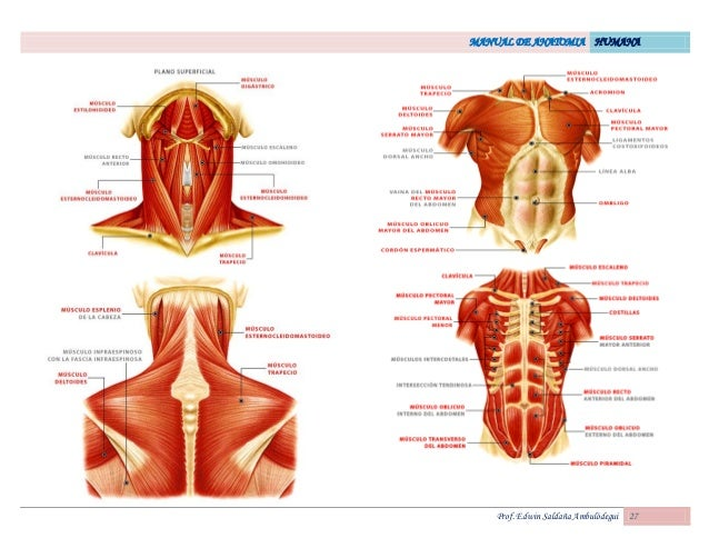 Atractivo Bosquejo De La Anatomía Humana Patrón - Anatomía de Las ...