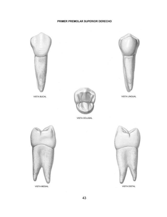 Famoso Anatomía Molar Mandibular Primera Ornamento - Imágenes de ...
