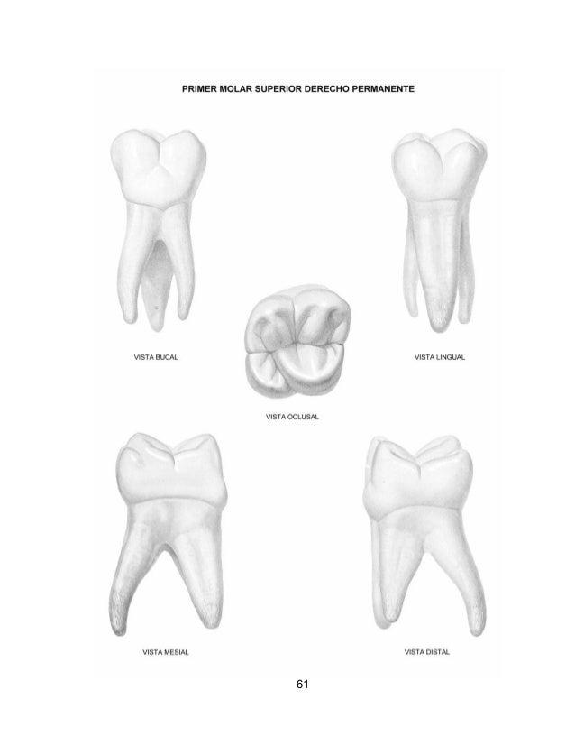 Fantástico Anatomía Dental Equina Imágenes - Anatomía de Las ...