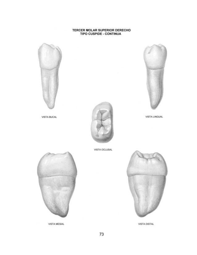Atlas anatomía dentaria