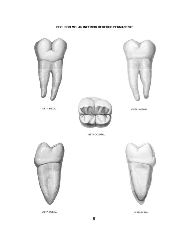Atlas de anatomia dental