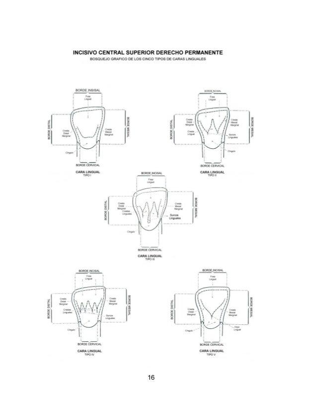 Excepcional Anatomía Dental Guía De Estudio Regalo - Imágenes de ...